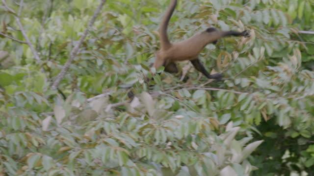 ms ts spider monkey jumping on tree in rainforest / panamá province, panama - neuweltaffen und hundsaffen stock-videos und b-roll-filmmaterial