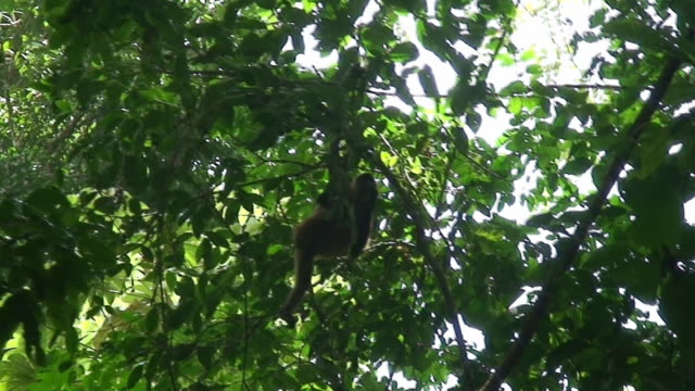 spider monkey - central america stock videos & royalty-free footage