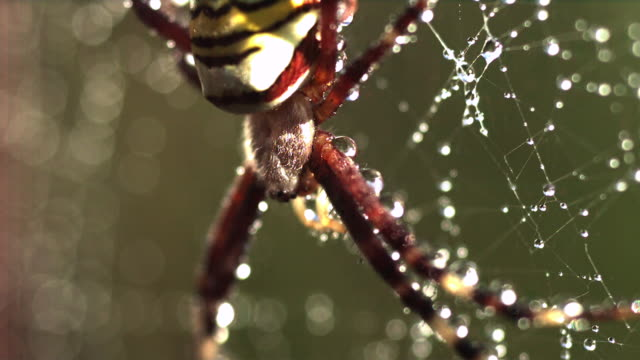 slomo spider moves on dew covered web, uk - condensation stock videos & royalty-free footage