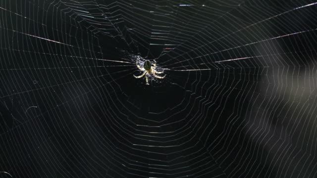 stockvideo's en b-roll-footage met spin bewegen in haar web - selimaksan