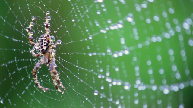 Spider on a rain drop web in defence mode from a moth attack