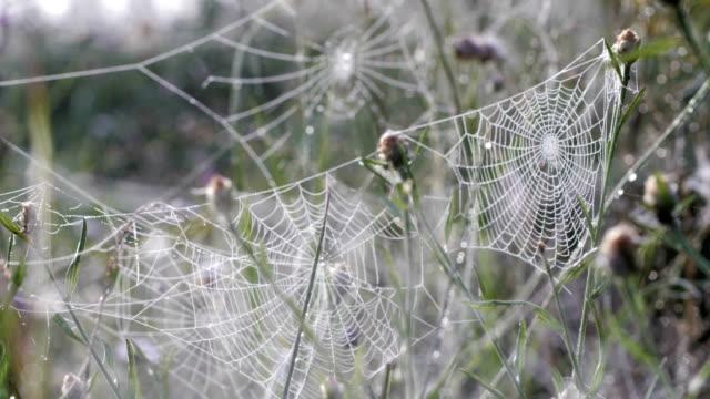vidéos et rushes de araignée sur une toile d'araignée dans la nature avec la rosée du matin et du soleil en passant par - mouillé