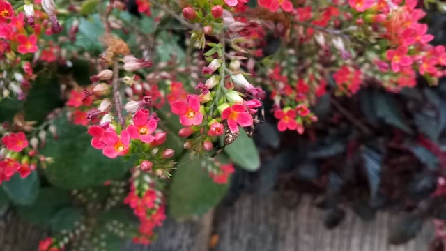 spider on kalanchoe flower - spider flower stock videos & royalty-free footage