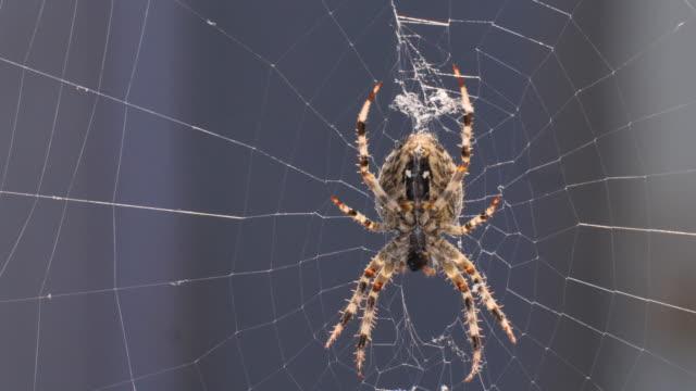 昆虫を食べるネット上のクモ - 動物の脚点の映像素材/bロール