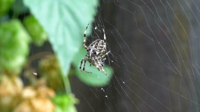 Spider on the spider web in 4K in slow motion