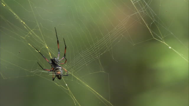 spider repairs web in forest, madagascar - arachnid stock videos and b-roll footage