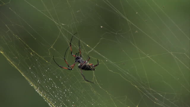 spider repairs web in forest, madagascar - spider web stock videos & royalty-free footage