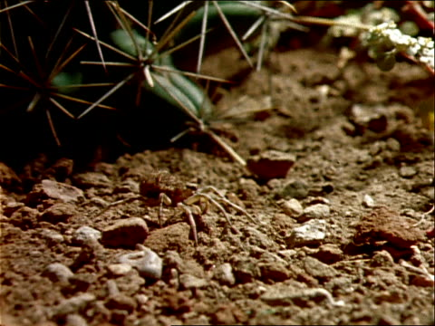 a spider sits on rocky ground by a cactus. - arachnid stock videos & royalty-free footage