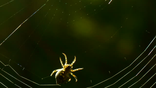 Spider spinning a spiderweb