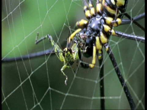 bcu spider, trapping and wrapping green grasshopper on web, western ghats, india - 捕らわれる点の映像素材/bロール