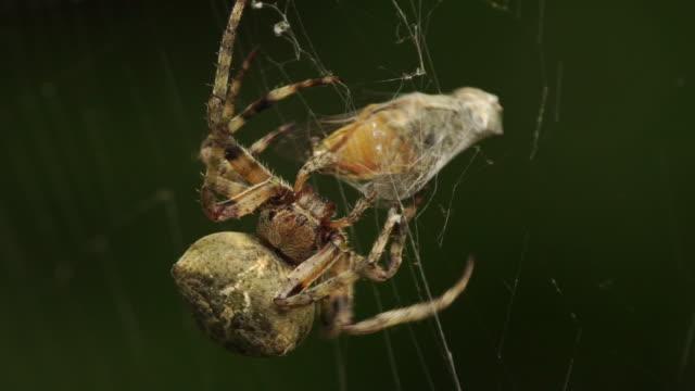 vidéos et rushes de araignée (réserve naturelle d'astrakhan) - araignée