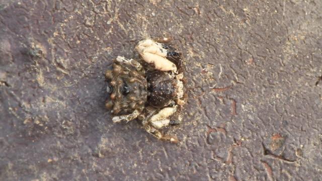 spider (phrynarachne katoi chikuni) - lebenszyklus stock-videos und b-roll-filmmaterial