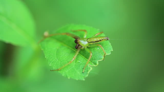 spider (oxytate striatipes) - disguise stock videos & royalty-free footage