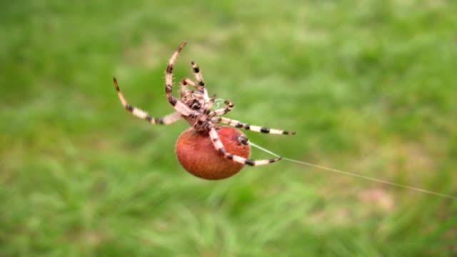 HD: spider