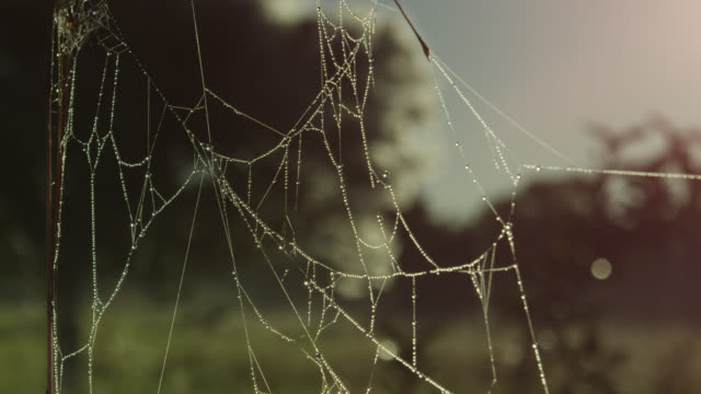 Spider web glistens with dew, pull focus to tree covered in cobwebs.