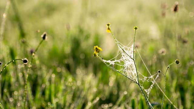 vidéos et rushes de cu ds toile d'araignée dans l'herbe - prairie