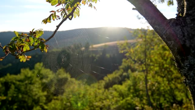 Spider web in the morning sun, Metzeral, Vosges, Haut Rhin, France