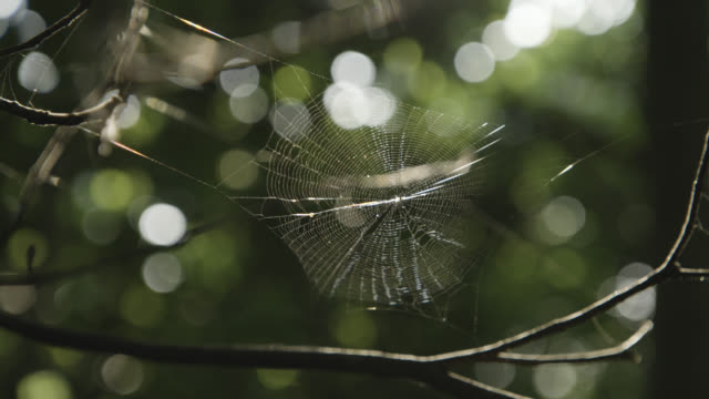 spider web spun between twigs trembles in breeze. japan. - okinawa prefecture stock videos & royalty-free footage