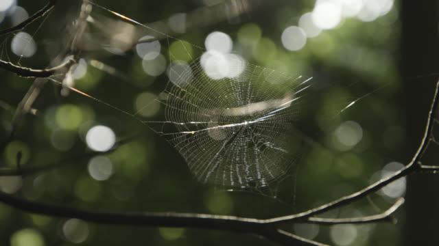 vídeos de stock, filmes e b-roll de spider web spun between twigs trembles in breeze. japan. - teia de aranha