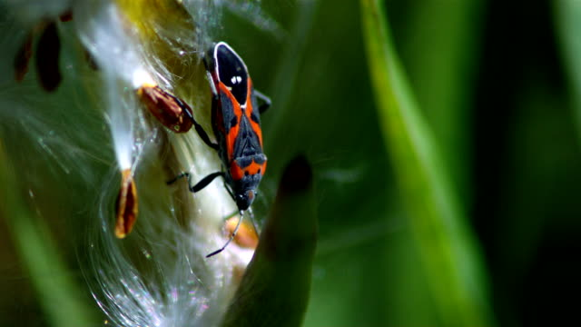 a spider web traps a red milkweed beetle. available in hd. - 捕らわれる点の映像素材/bロール