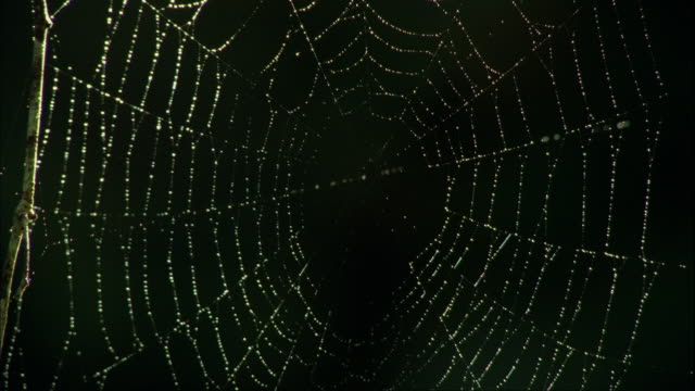 CU, Spider web with dew drops, Fiordland National Park, South Island, New Zealand