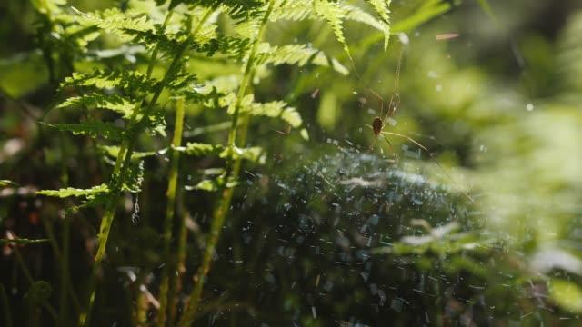 spinnennetz mit zwei spinnen und magischen licht mitten im wald / zeitlupe - spinnennetz stock-videos und b-roll-filmmaterial