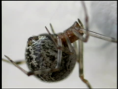 a spider with a large abdomen clings to its web. - invertebrate stock videos & royalty-free footage
