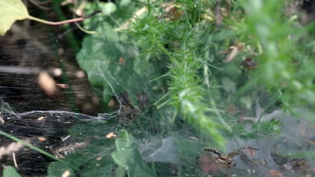 spiders web coating gorse, heathland, south downs - サウスダウンズ点の映像素材/bロール