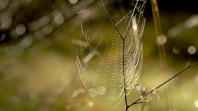 vidéos et rushes de spiderweb swayin avec le vent. la lumière du soleil brille brillamment sur une toile d'araignée dans une forêt verte d'automne. - araignée