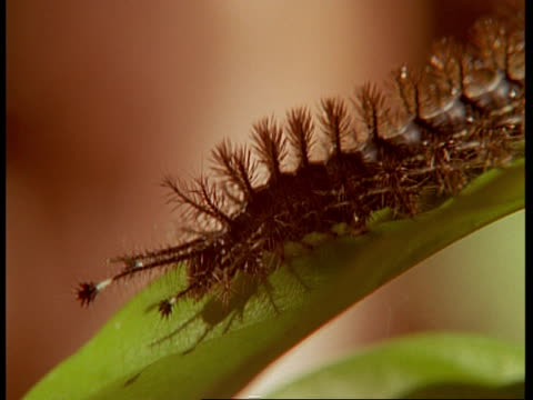 cu spiky brown caterpillar on leaf, south america - appuntito video stock e b–roll