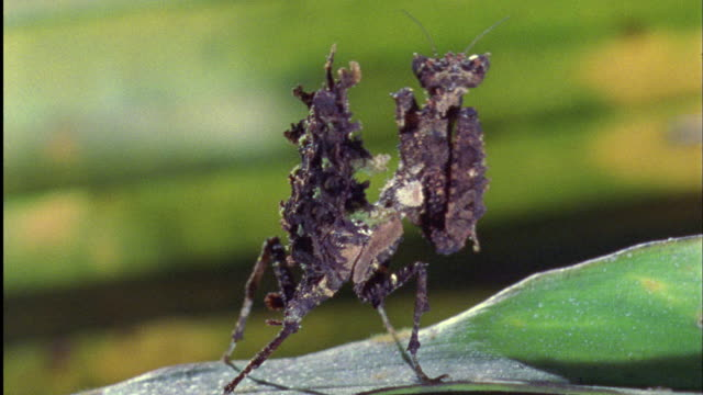 spiky mantis dances on leaf available in hd. - insect stock videos & royalty-free footage