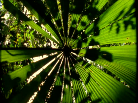 spin around under frond of fan palm in rainforest, daintree, australia - frond stock videos & royalty-free footage