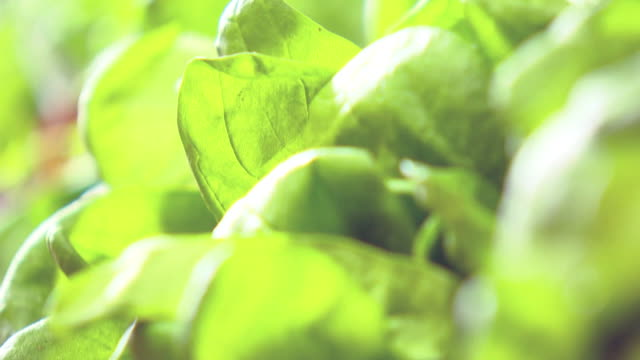 spinach - extreme close up - organic stock videos & royalty-free footage