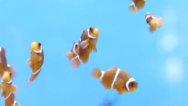 spine cheek anemonefish - tank stock videos & royalty-free footage