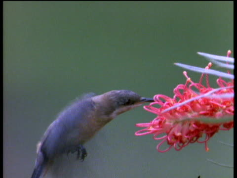 spinebill bird flaps wings and hovers to feed on pink grevillea flower - maul stock-videos und b-roll-filmmaterial