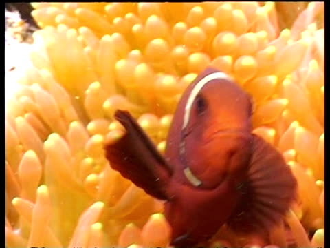 vidéos et rushes de cu spinecheek clownfish in anemone waving in current, sipadan, borneo, malaysia - organisme aquatique