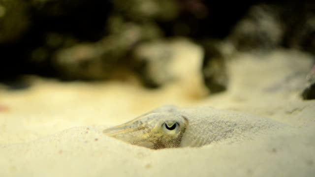 spineless cuttlefish - cuttlefish stock videos and b-roll footage