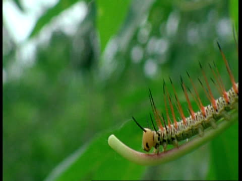 CU spiney caterpillar crawling on branch, Amazon, South America