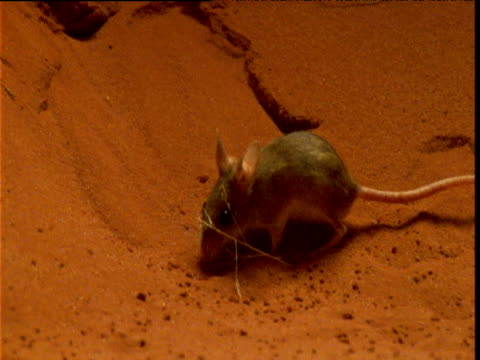 spinifex hopping mouse dashes around in desert and returns to its burrow, northern territory, australia - mouse animal stock videos & royalty-free footage