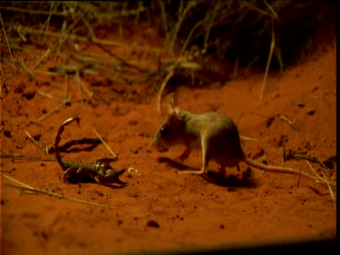 spinifex hopping mouse investigates scorpion in desert and leaps away in fear, northern territory, australia - bbc stock videos and b-roll footage