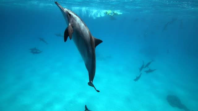 vidéos et rushes de a spinner dolphin breeching the surface of the water - dauphin tacheté