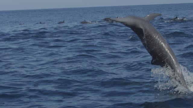 vídeos de stock e filmes b-roll de slomo cu spinner dolphin does 2 spins in profile - golfinho pintado pantropical