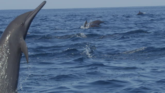 slomo cu spinner dolphin leaps and does 1 spin in profile - provinz puntarenas stock-videos und b-roll-filmmaterial