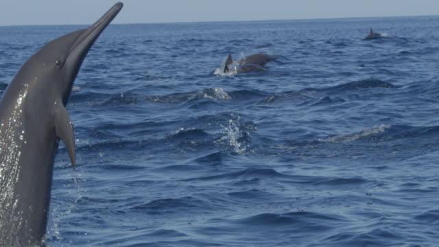 vídeos de stock e filmes b-roll de slomo cu spinner dolphin leaps and does 1 spin in profile - golfinho pintado pantropical