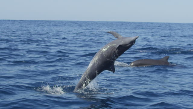 slomo ms spinner dolphin leaps and does 2 corkscrew spins  - provinz puntarenas stock-videos und b-roll-filmmaterial