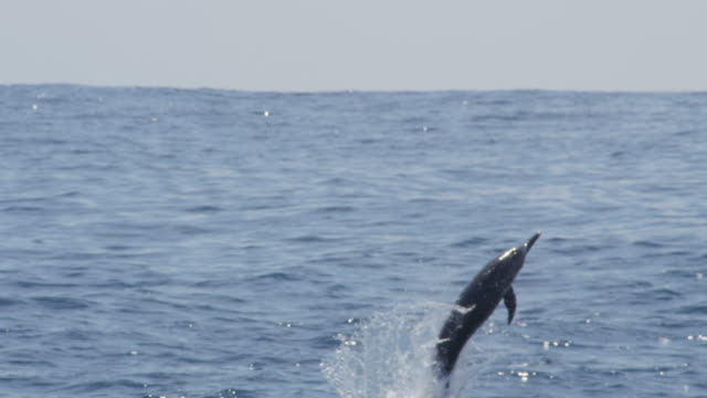 spinner dolphin leaps and does 3 spins in profile - spinner dolphin stock videos & royalty-free footage