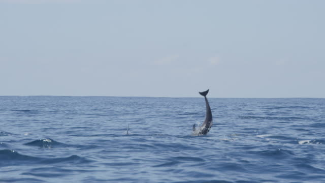 spinner dolphin leaps and does 5 spins  - spinner dolphin stock videos & royalty-free footage