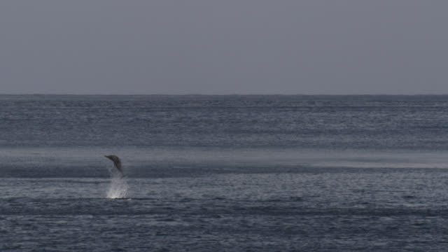 spinner dolphin leaps and spins, brazil - cetacea stock videos & royalty-free footage