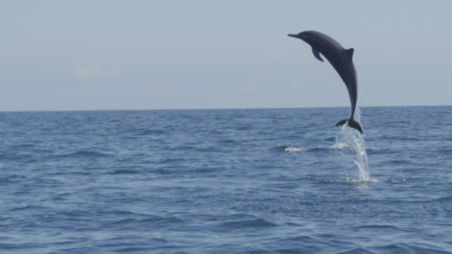 slomo spinner dolphin leaps high and falls back into sea with belly flop - dolphin stock videos & royalty-free footage