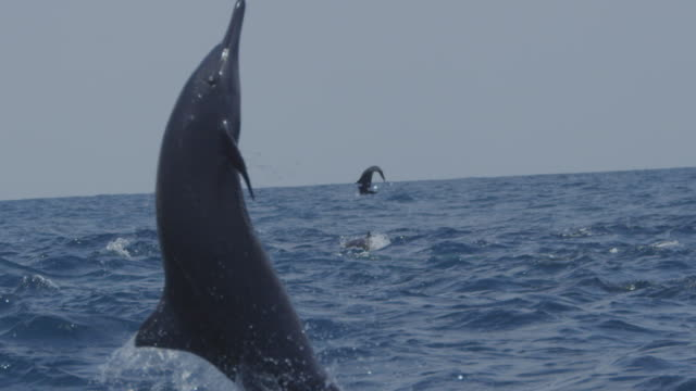 slomo cu spinner dolphin leaps vertically and does 2 spins in profile - spinner dolphin stock videos & royalty-free footage